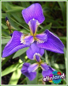 Касатик, Ирис - Iris L.
