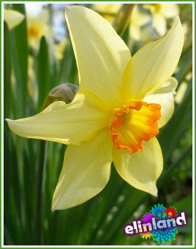 Нарцисс - Narcissus L.