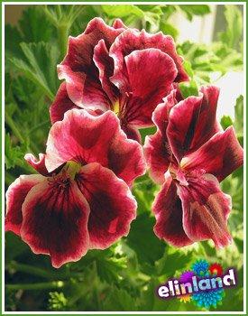 Пеларгония - Pelargonium L' Herit