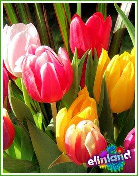 Тюльпан - Tulipa L.