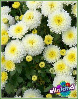 Хризантема - Chrysanthem L.