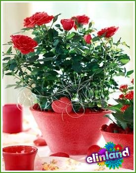 Сажаем розы