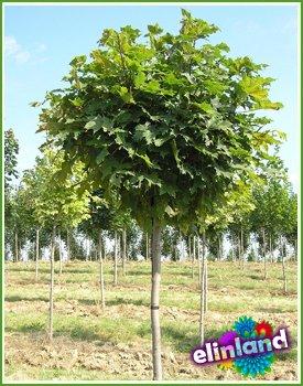 Группа риска, лиственные деревья