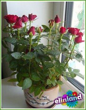 Выращивание роз из букета