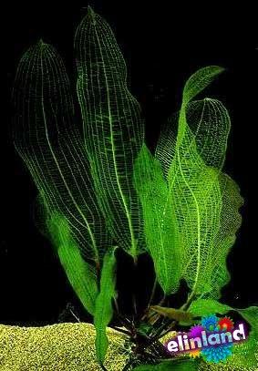 Апоногетон сетчатый