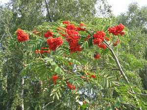 Мужегон цветок фото приметы